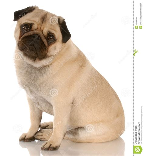 pug fawn fawn pug royalty free stock image image 11343596