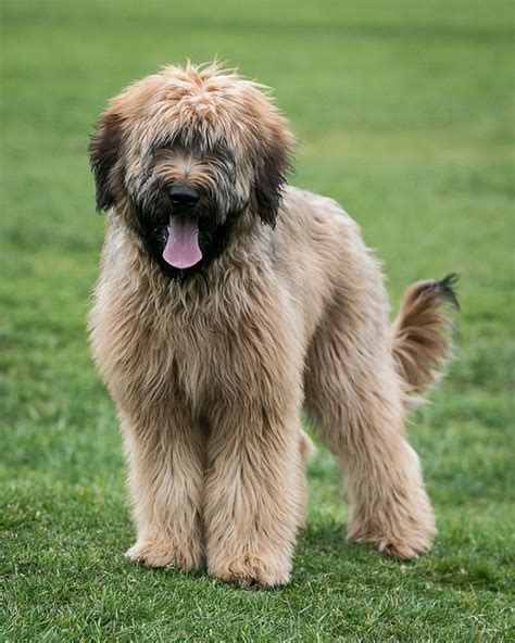 Briard Shedding by 17 Best Images About Briard On Poodles