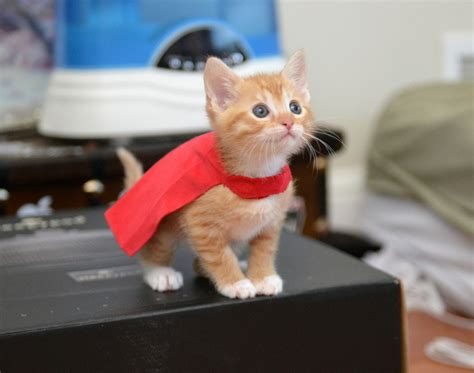 Supercat Kitten 800gr cat hailed a for saving trapped next door meow