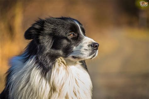family dogs are border collies family dogs pets4homes