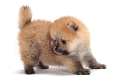 Pomeranian Shedding by The 12 Most Talkative Breeds