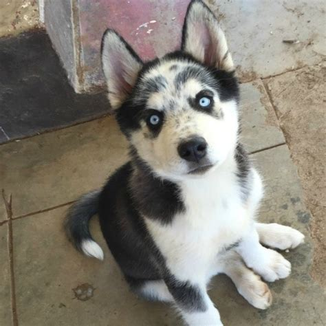 7 Facts On Huskies by Siberian Husky Breed Information And Photos Thriftyfun