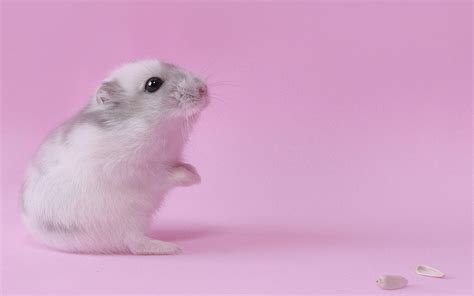 hamster mobile free hamster pink wallpaper photos 10647 wallpaper walldiskpaper