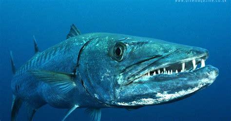 Download Mp3 Gigi Ikan Laut | ifc indominco fishing mania jenis ikan laut barracuda