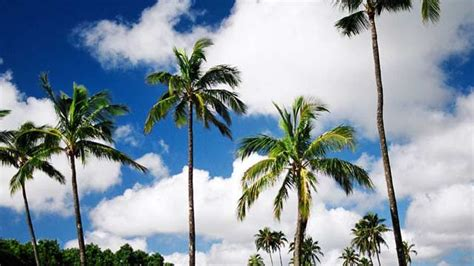 Coconut Tree goa assembly reclassifies coconut tree as palm