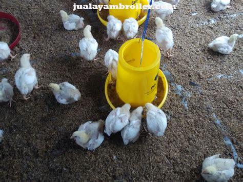 Jual Bibit Ayam Broiler Di Medan jual ayam broiler di jakarta pusat jual ayam broiler