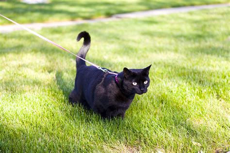 how to leash your how to leash your cat pet wellbeing