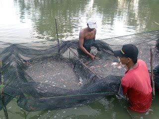 Jual Bibit Ikan Nila Gift all bisnis on line jual bibit ikan nila merah nila gift