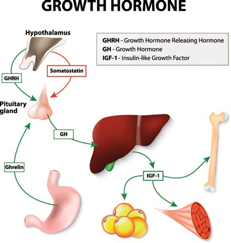 1 supplement for growth 5 best hgh supplements aging and increase