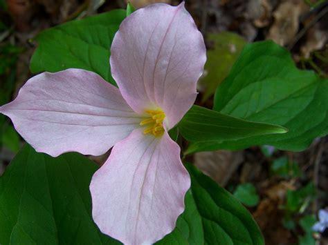 pink trillium photo karen stuebing photos at pbase com