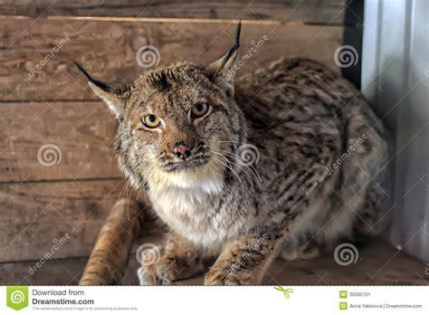 gatto in gabbia gatto selvatico in una gabbia immagine stock immagine