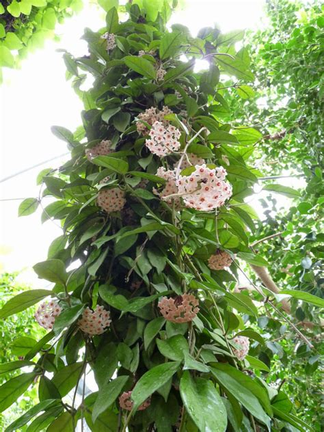 Flower Garden Plants Hoya Carnosa Wax Plant World Of Succulents