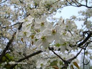 Flower Tree Pictures - pear tree blossom picture