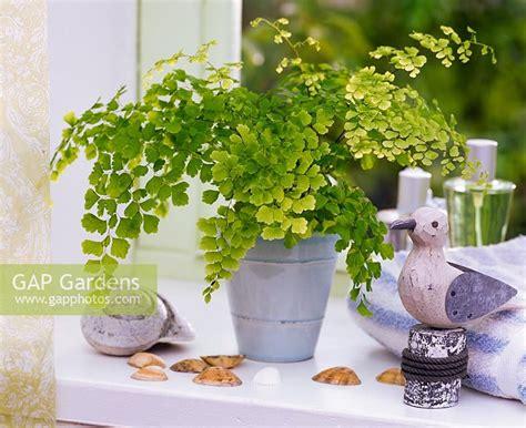 Suplir Atau Adiantum indoor ornamentals sp models nature
