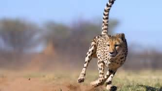 Jaguars Running Jaguar Animal Running Wallpaper