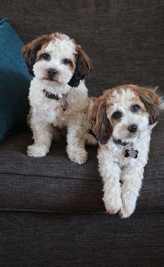 shih tzu calgary baby barks bichon shih tzu breeder shichon zuchon puppies for sale in calgary