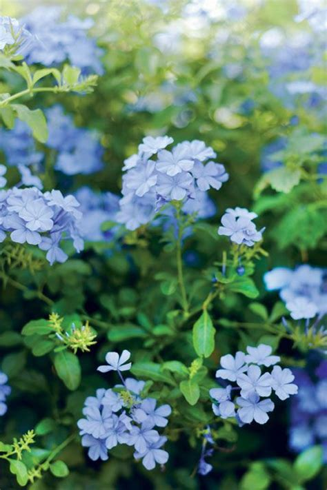 shrub blue flowers plumbago
