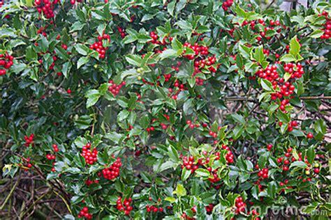 Piante Radici Profonde by Planta Do Azevinho Bagas Vermelhas Foto De Stock