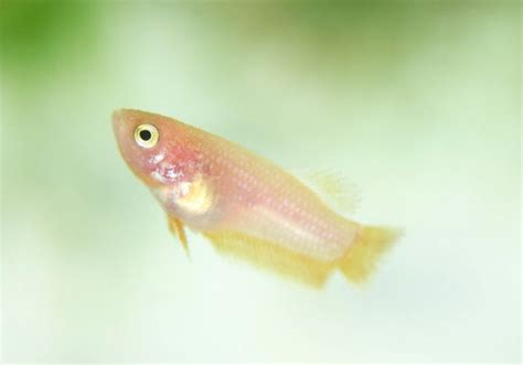 beby bett 129 best images about beautiful bettas on