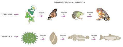 cadenas troficas en ecosistemas cadena alimenticia y red tr 243 fica terrestres y acu 225 ticas