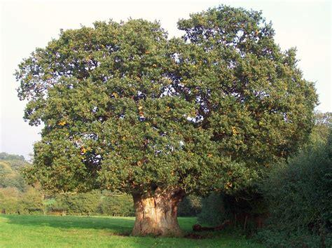 description of a tree file oak tree jpg