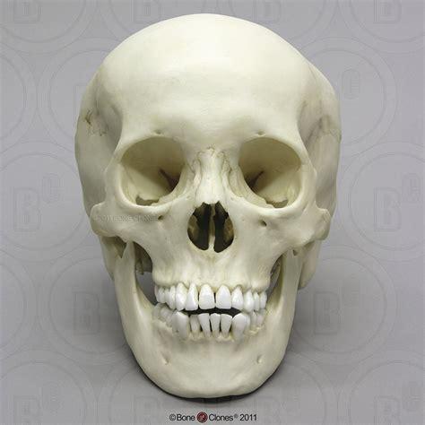 Human Adolescent Skull Bone Clones Inc Osteological Skull On