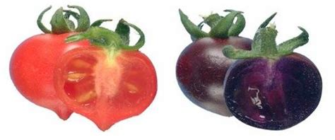 Cathie Marthin maroon tomatoes extend the lives of mice sciguy