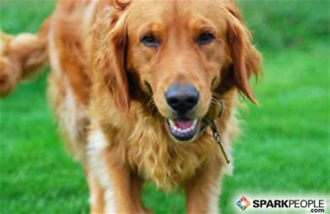 golden retriever stomach problems the 6 most popular breeds sparkpeople
