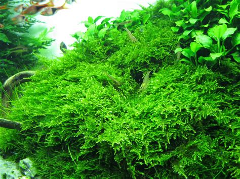 christmas moss caresheet aquatic mag