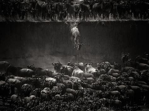 Maxmara Juliee Syari wildebeest image tanzania s mara river national geographic photo of the day