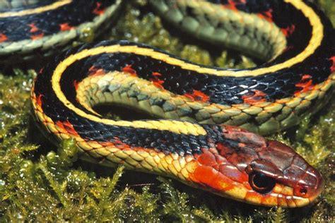 Types Of Garden Snakes by Photo Common Garden Snake