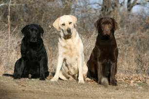 american color labs history of the labrador retriever