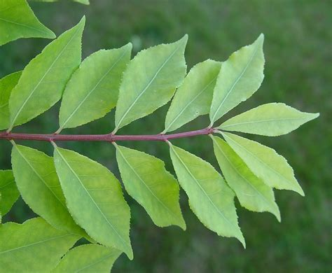 with leaves euonymus alatus burning bush winged spindle tree go botany