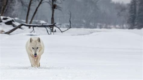 what is a wolf what is the arctic wolf s habitat reference