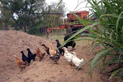 chickens in your backyard raising chickens keeping chickens in your backyard how