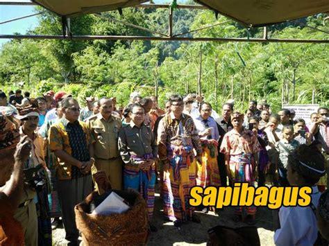 Bibit Sapi Kupang sentra peternakan rakyat mandiri kupang panen ternak sapi