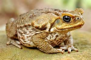 cane toad abc news australian broadcasting corporation