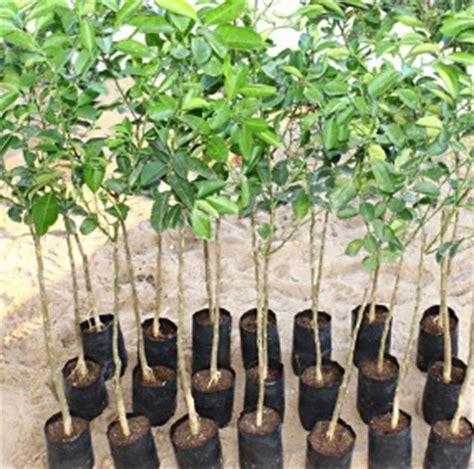 Harga Bibit Jeruk Purut jual bibit jeruk di palembang jual bibit tanaman unggul