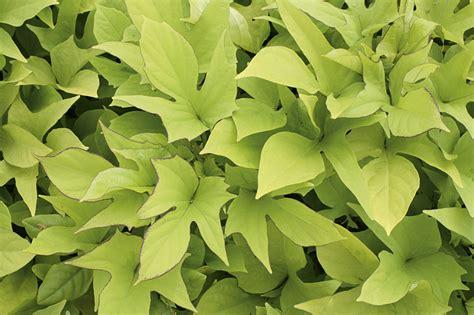 sweet caroline light green sweet potato vine ipomoea batatas proven winners