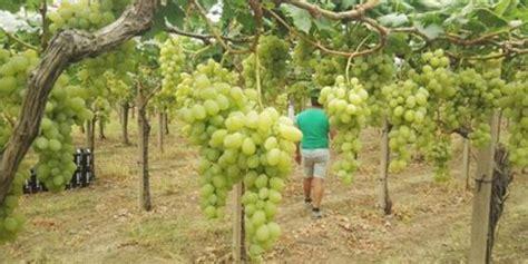 prezzo uva da tavola uva da tavola il prodotto estero affonda i prezzi
