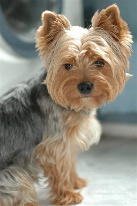 how are yorkies terrier petsync