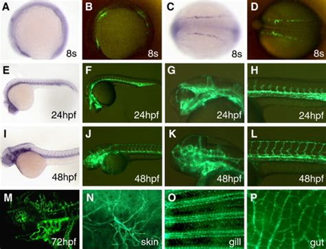 pattern formation in zebrafish zfin all figures choi et al 2007