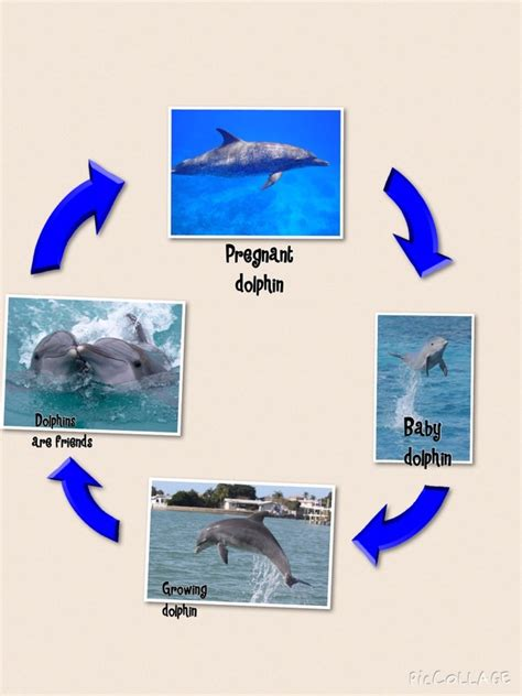 bottlenose dolphin cycle diagram bottlenose dolphin cycle diagram 28 images bottlenose