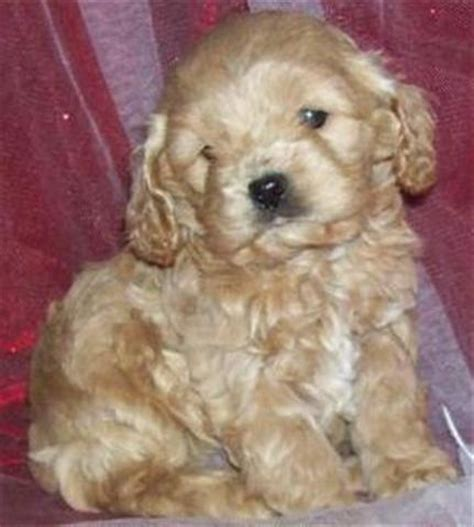 mini cockapoo puppies for sale puppies for sale cockapoo teacup mini cockapoos and cavapoos f category