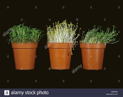 plants that can survive without light cress seedlings response to no light and directional light