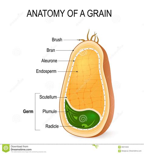 whole grain kernel whole grain kernel diagram whole grain council seal