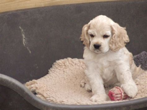 free cocker spaniel puppies american cocker spaniel puppies www imgkid the