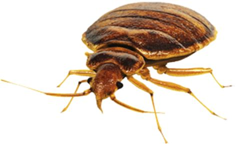 bed bugs phoenix bed bugs in phoenix az bills pest termite control