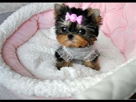 perro yorkie precio perrito puppy y