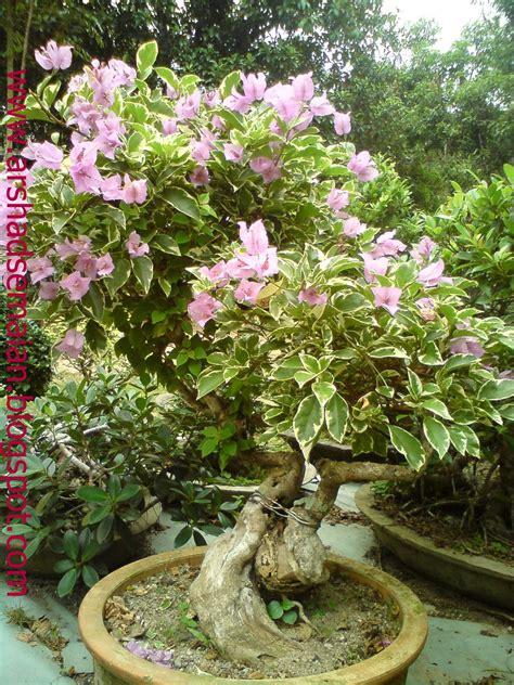 cara membuat bunga kertas bonsai cara bonsai pokok bunga kertas best bonsai 2017